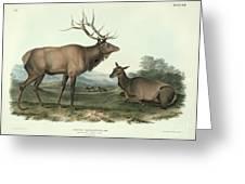 American Elk Greeting Card