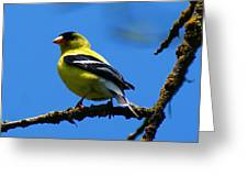 American Goldfinch 1 Greeting Card