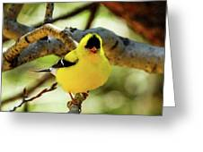 American Goldfinch On Aspen Greeting Card
