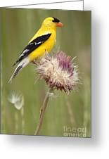 American Goldfinch On Summer Thistle Greeting Card