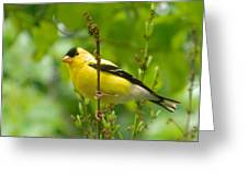 American Goldfinch Sittin' In A Tree Greeting Card