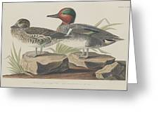 American Green-winged Teal Greeting Card