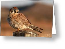 American Kestrel Giving Hunting Stare Greeting Card