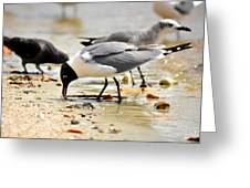American Oyster Catcher Greeting Card