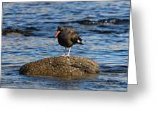 American Oystercatcher - 2 Greeting Card