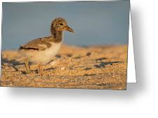 American Oystercatcher Chick Greeting Card
