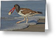 American Oystercatcher Grabs Breakfast Greeting Card