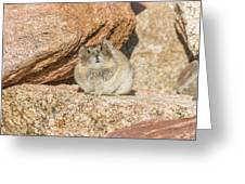 American Pika Focuses On The Camera Greeting Card