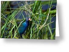 American Purple Gallinule Greeting Card