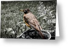 American Red Robin Greeting Card