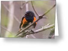 American Redstart Greeting Card
