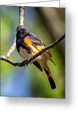 American Redstart Portrait Greeting Card