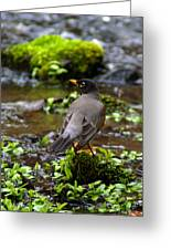 American Robin In Garden Springs Creek Greeting Card