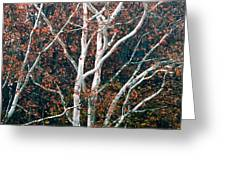 American Sycamore # 2 Greeting Card