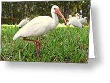 American White Ibis Birds In Orlando, Florida Greeting Card