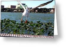 American White Pelican 007 Greeting Card