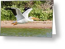 American White Pelican Above The Water Greeting Card