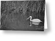 American White Pelican Among Reeds         Minnesota Zoo          Autumn Greeting Card