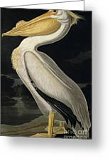 American White Pelican Greeting Card