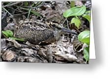 American Woodcock Chick. Greeting Card