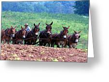 Amish Plowing The Fields With Mules Greeting Card