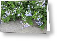 Amsonia Tabernaemontana Greeting Card
