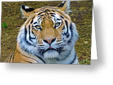 Amur Tiger 1 Greeting Card