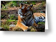 Amur Tiger 4 Greeting Card
