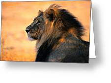 An Adult Male African Lion, Panthera Greeting Card