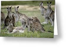 An Alert Mob Of Eastern Grey Kangaroos Greeting Card