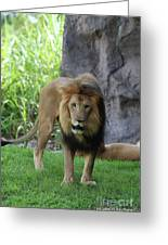 An Amazing Look At A Prowling Lion Standing In Grass Greeting Card