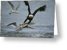 An American Bald Eagle Grabs A Fish Greeting Card