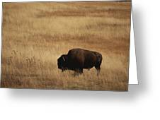 An American Bision In Golden Grassland Greeting Card