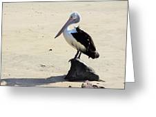 Australian Pelican In Cairns Greeting Card