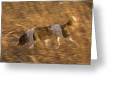 An English Springer Spaniel Points Greeting Card