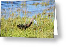 An Ibis In The Grass Greeting Card