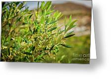 An Olive Tree Greeting Card