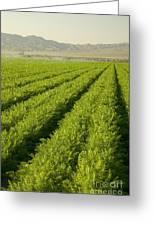 An Organic Carrot Field Greeting Card