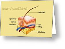 Anatomy Of The Skin And Hair Greeting Card