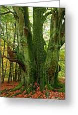 Ancient German Oak Trees In Sababurg Greeting Card