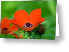 Anemone Coronaria Greeting Card