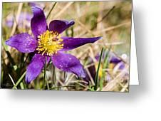 Anemone Pulsatilla Greeting Card