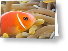 Anemonefish Greeting Card