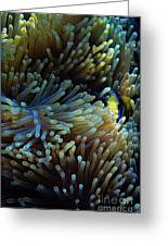 Anemonefish Hiding Greeting Card