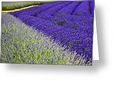 Angles In Lavender Greeting Card