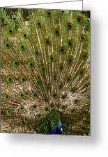 Angry Peacock Greeting Card