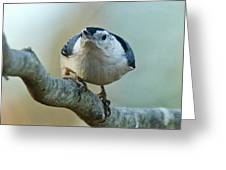 Angry White Breasted Nuthatch Greeting Card