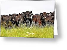 Angus Heifers Greeting Card