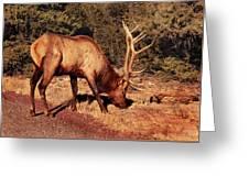 Animal - Elk -  An Elk Eating Greeting Card