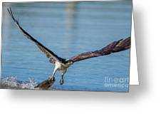 Animal - Bird - Osprey Catching A Fish Greeting Card